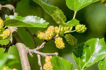 berry, mulberry branch