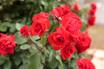 Many red ripe roses