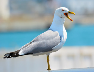 Seagull angry on the pier