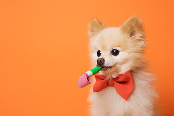 funny litllte dog at orange background Wall mural