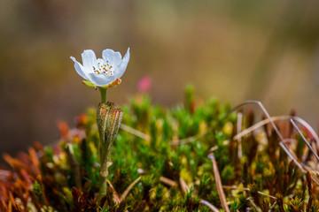 Closeup of single cloud berry flower