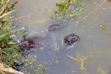 two ordinary brown marsh frog in th mating season in the spring