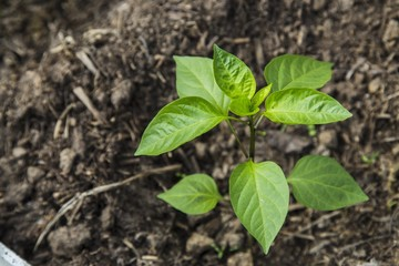 Peper seedling in greenhouse