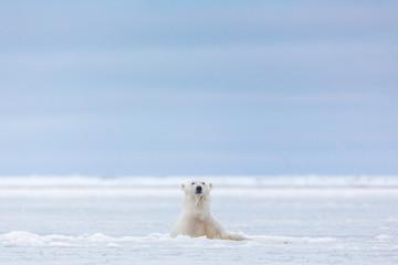 A Polar bear emerges above the ice