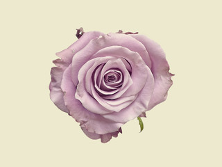 Single rose against plain background, overhead view