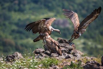 Griffin Vulture (Gyps fulvus) in Wildlife Reserve Madjarovo, Bul