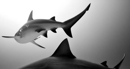 Sharks underwater in seas