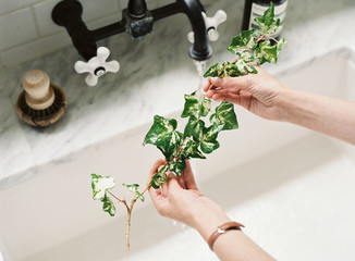 Sprig of ivy being washed in sink