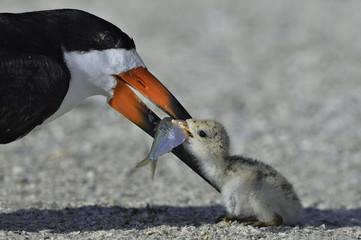 Black skimmer bird feeding her chick fish