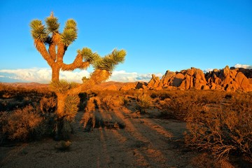 Desert landscape of Joshua Tree National Park at sunset, California, USA