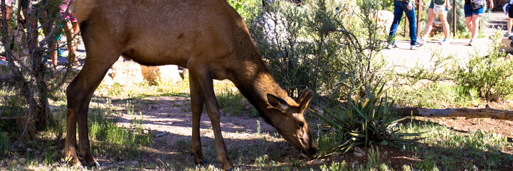 Young male Elk grazes near people in Grand Canyon National Park