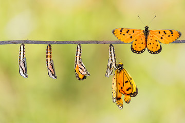 Life cycle of Tawny Coster transform from caterpillar to butterf