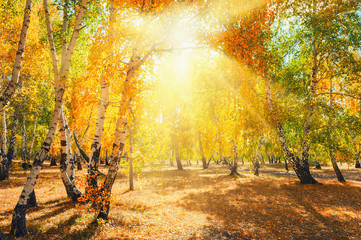 Autumn forest with yellow trees on a sunny day