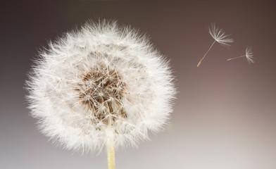 Pusteblume mit davonschwebendem Samen