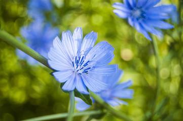 Wallpaper Macro Blue flower on blur background