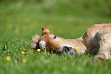 Little foal having a rest in the green grass with flowers