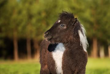 Portrait of little painted shetland pony in summer