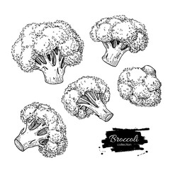 Broccoli hand drawn vector illustrations. Vegetable engraved sty