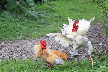 two cocks white and red are going to fight fluffed wings and feathers