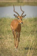 Photo sur Toile Antilope Male impala by river walking towards camera