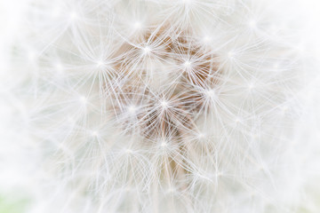 fluffy white dandelion abstract macro photo