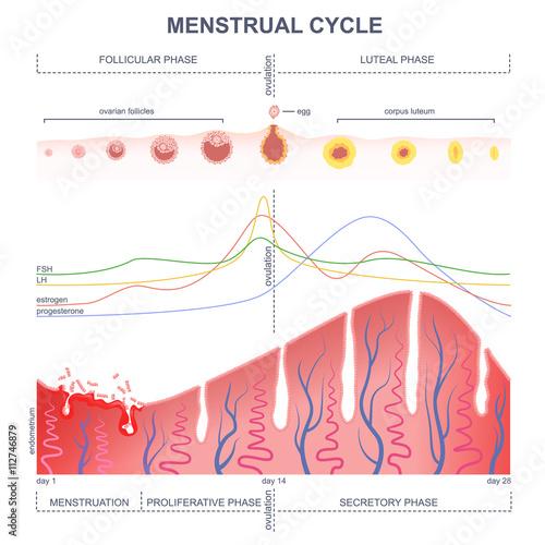menstrual cycle vs ovarian cycle