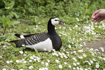 Annoyed black and white barnacle goose resting in a grassy area surrounded by daisy flowers.