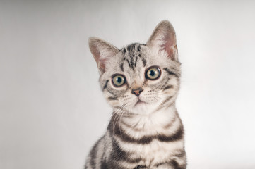 American shorthaired kittens on silver background