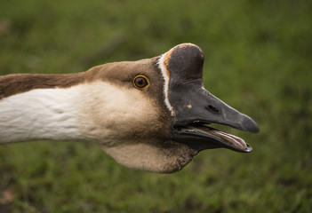 Swan goose-Anser cygnoides, head shot, close up