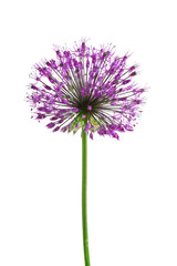 Beautiful meadow flower (Purple Giant Allium), isolated on white