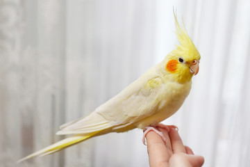Yellow cockatiel on a female finger, close up