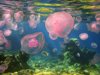 jellyfishes in the Gulf of Eilat, Red Sea, Israel