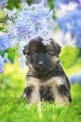 Little german shepherd puppy sitting under a flower of lilac