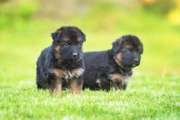 Two german shepherd puppies walking in the yard