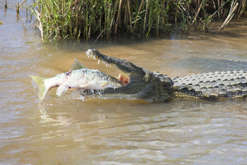 Large nile crocodile eat a fish on river bank