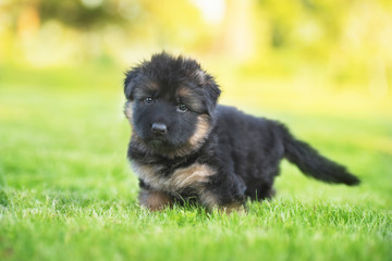 German shepherd puppy in summer