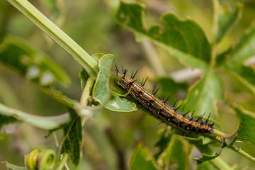 oruga mariposa