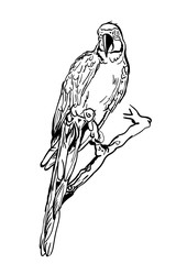 Vector illustration of tropical ara parrot sitting on tree. Isolated monochrome parrot bird. Black and white sketch of parrot. Design element for print, label, package, background.
