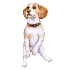 Watercolor closeup portrait of Beagle dog of rare mono coloration begging for food. Isolated on white background. Shorthair small-sized hound dog. Hand drawn sweet home pet. Greeting card cute design