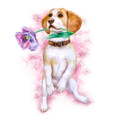 Watercolor closeup portrait of Beagle dog of rare mono coloration holding tulip flower. Isolated on white background. Shorthair small-sized hound. Hand drawn sweet home pet. Greeting card cute design