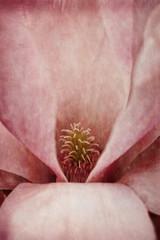 Pink magnolia, close-up