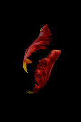 Petals from parrot tulip, against black background