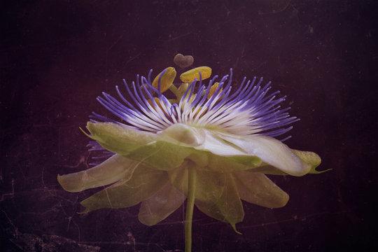 Passion flower, close-up