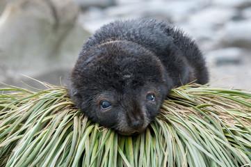 Fur seal pup on tusset grass