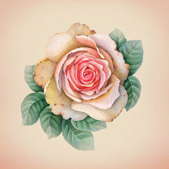 Watercolor illustration of rose flower