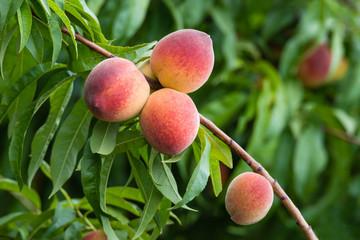 Peach tree fruits