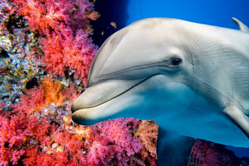 Deurstickers Onder water dolphin underwater on reef close up look