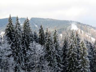 snow winter  forest in the mountains Bukovel