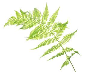 spring light fern leaves on white