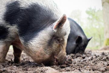 Man Feeding Pigs On Small Organic Farm